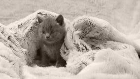 Kätzchenporträt, lokalisiert stock footage