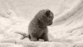 Kätzchenporträt, lokalisiert stock video
