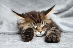Kätzchenschlaf unter Decke Stockfotografie