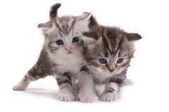 Kätzchenspiele auf einem weißen Hintergrund Lizenzfreie Stockbilder