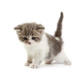 Kätzchenspiele auf einem weißen Hintergrund Stockbild