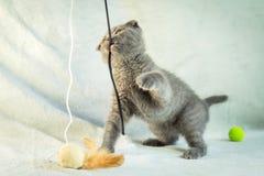 Kätzchenspiele mit Hängeohren Schottland-Katze, Kätzchen Kleines spielerisches Kätzchen Lizenzfreies Stockbild