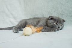 Kätzchenspiele mit Hängeohren Schottland-Katze, Kätzchen Kleines spielerisches Kätzchen Lizenzfreie Stockfotografie
