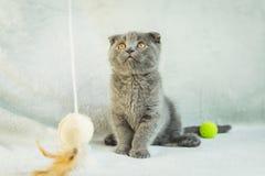 Kätzchenspiele mit Hängeohren Schottland-Katze, Kätzchen Kleines spielerisches Kätzchen Stockfoto