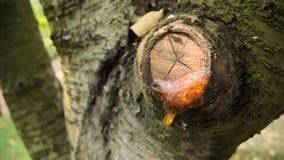 Kåda på treen Arkivfoton
