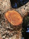 Kåda på treen royaltyfri fotografi