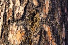 Kåda sörjer på trädskället Närbild av trädskället som bakgrund Arkivfoto
