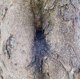 Kåda som kommer ut ur ett träd Royaltyfri Bild