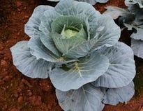kål blad grönsaker Arkivbild