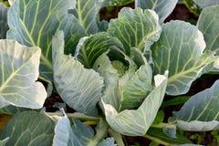 Kål - ekologisk grönsakträdgård Arkivfoton