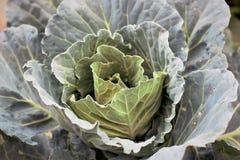 Kål friskhet som är ny, lantgård, vegetarian, natur, gräsplan, mat, grönsak, royaltyfria foton