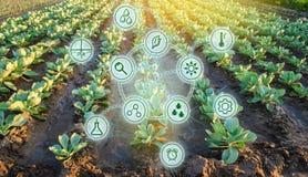 Kål i fältet Höga teknologier och innovationer i agro-bransch Studiekvalitet av jord och skörden Vetenskapligt arbete och arkivfoto