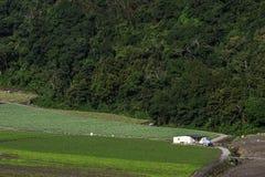 Kål i lantgårdfält Royaltyfri Foto