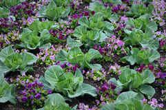 Kål med purpurfärgade Pansies Royaltyfri Foto