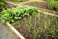 Kål och annat växa för grönsaker i trädgården royaltyfri bild