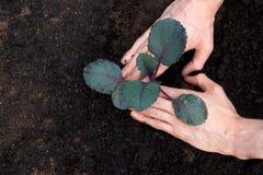 kål som planterar purpurt barn royaltyfri fotografi