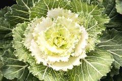 Kålbrassicaoleracea som planteras för dekorativt Royaltyfria Bilder