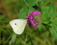Kålfjäril på en växt av släktet Trifoliumblomma Royaltyfri Foto