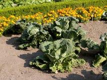 kålgrönsak Royaltyfri Fotografi