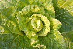Kålgrönsak Arkivbild