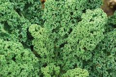 kålgreen Royaltyfri Foto