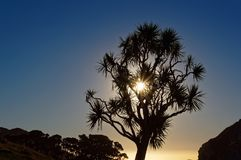 Kålträd, västkusten, Nya Zeeland arkivfoto