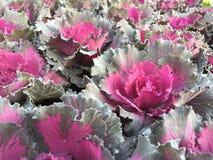 Kålväxter Arkivbild