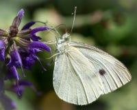 Kålvit på purpurfärgad vildblommamakro Royaltyfria Bilder