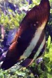 Kółkowy batfish Fotografia Royalty Free