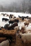 kózek stada sezonu zima Fotografia Stock