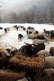 kózek stada sezonu zima Zdjęcia Royalty Free