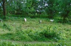 Kózka cieszy się zielonej trawy obrazy stock