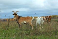 Kózka, kózka i krowy pasanie w jesieni polu, Zdjęcia Royalty Free