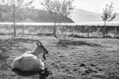 Kózka na Islandzki rolny relaksować Zdjęcie Stock