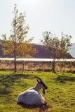 Kózka na Islandzkim gospodarstwie rolnym Fotografia Stock
