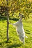 Kózka na Islandzkim rolnym łasowaniu od drzewa Zdjęcia Royalty Free