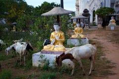 Kózka w świątyni Obraz Royalty Free
