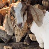 Kózka woodpile zdjęcia stock