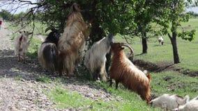 Kózki łasowania śmieszny ulistnienie od drzewo stojaka na tylnych nogach blisko Tbilisi, Gruzja zbiory wideo