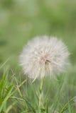 Kózki brody kwiat zdjęcia royalty free