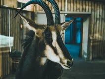 Kózki głowa w zoo zakończeniu w górę makro- obraz royalty free