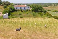Kózki grupa w gospodarstwie rolnym w dolinie Seco, Santiago robi Cacem Obrazy Stock
