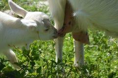 Kózki mleko Mała kózka ssa mleko od koźliej ` s mamy fotografia royalty free