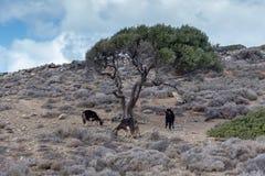 Kózki pasa w górach pod dużym drzewem na chmurzącym dnia Lassithi terenie, wyspa Crete, Grecja obraz stock