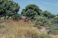Kózki pasają na łące góra przy zmierzchem Grecja Kózki na halnym naprzeciw morza Zdjęcie Royalty Free