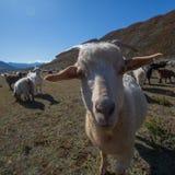 Kózki pasają w Altai górach, Rosja Natura Obrazy Royalty Free