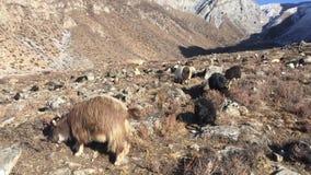 Kózki w Muktinath dolinie w mustanga okręgu, Nepal w zimie zdjęcie wideo