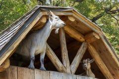 Kózki w starym gospodarstwie rolnym w Parc omedze Kanada obrazy stock
