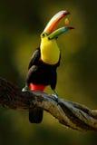 Köl-fakturerad tukan, Ramphastos sulfuratus, fågel med den stora räkningen Tukansammanträde på filialen i skog med frukt i näbb,  royaltyfri bild