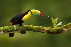 Köl-fakturerad tukan, Ramphastos sulfuratus, fågel med den stora räkningen Tukansammanträde på filialen i skogen, Boca Tapada, gr Arkivbilder